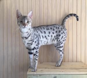 Gato Savannah cinza