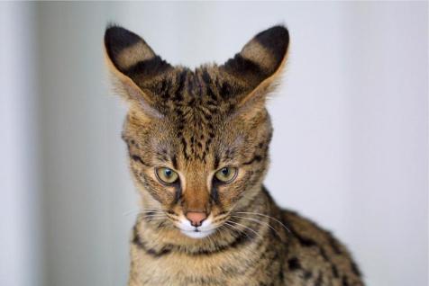 Gato Savannah Malhado