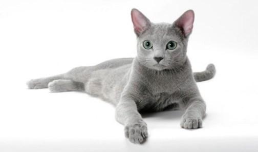 Gato Azul Russo deitado