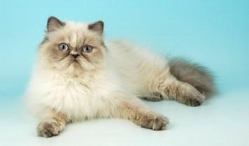 gato himalaio