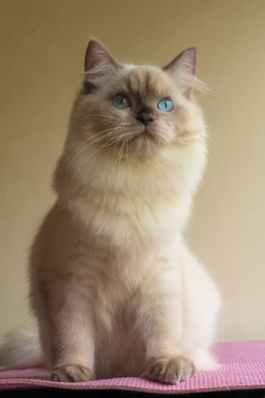 gato himalaio creme