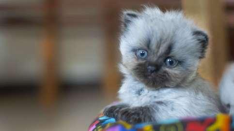 filhote de gato himalaio