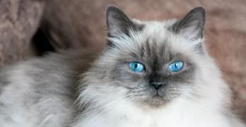 Gato Himalaio branco e cinza