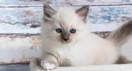 Gato Ragdoll filhote