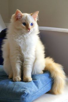 Gato Ragdoll vermelho