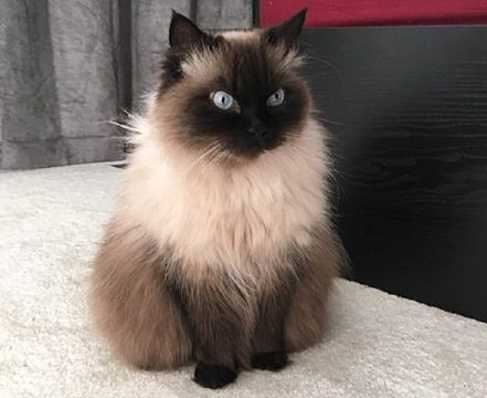 Gato Ragdoll Chocolate