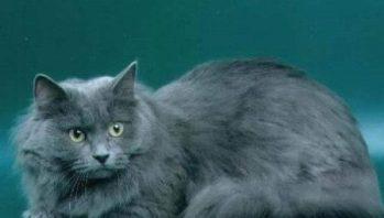 Gato siberiano azul
