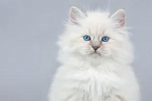 Gato siberiano filhote