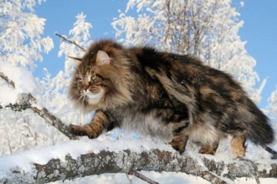 Gato siberiano na floresta
