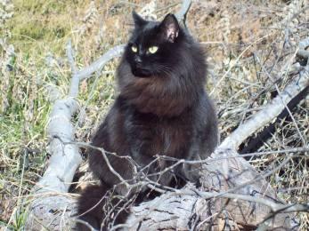 Gato siberiano preto