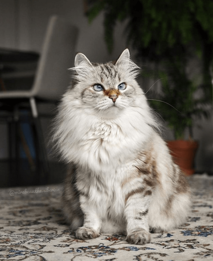 Gato Siberiano sentado