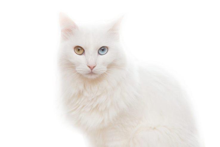 Gato Angorá olhos