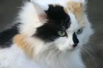 Gato Angorá Cálico