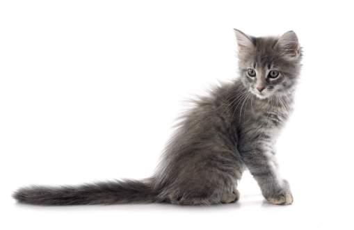 Gato Angorá Filhote