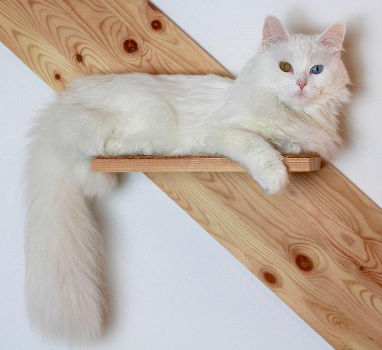 Gato Angorá pose