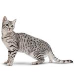 Gato Mau Egipicio