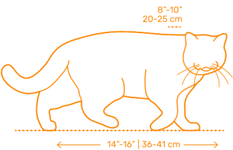 Gato Scottish Fold medidas