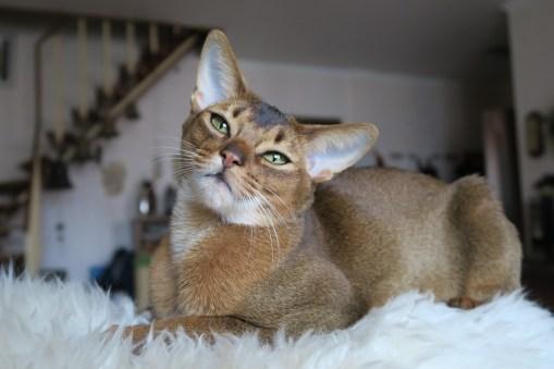 Gato Abissínio pose