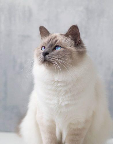 Gato Birmanês lilacpoint