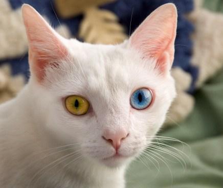 Gato Bobtail Japonês olhos