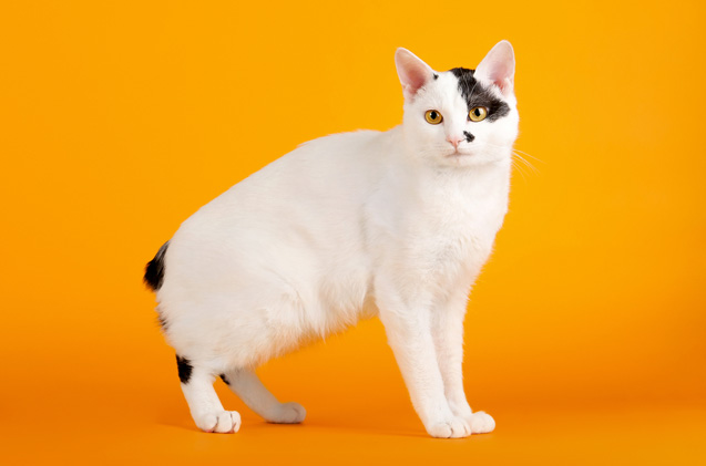 Gato Bobtail Japonês pose