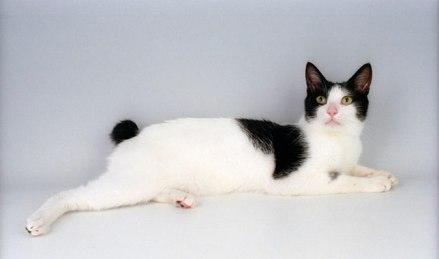 Gato Bobtail Japonês rabo