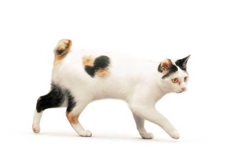 Gato Bobtail Japonês tricolor