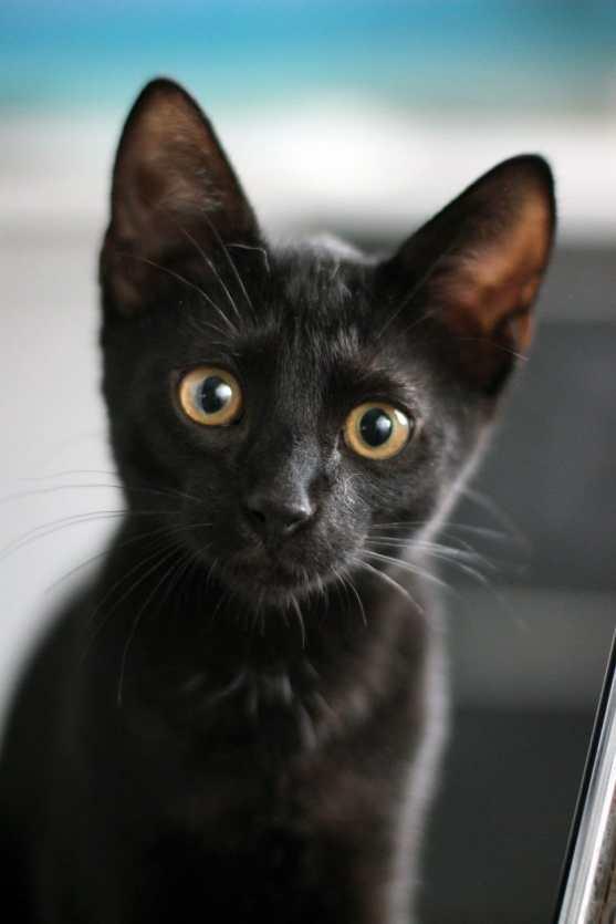 Gato Bombaim filhote