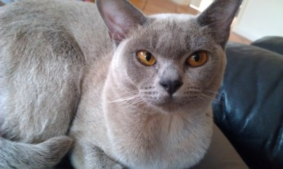 Gato Burmes Azul