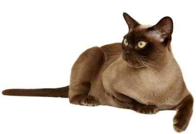 Gato Burmes forte