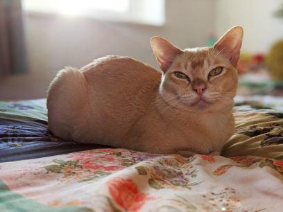 Gato Burmes vermelho