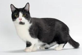 Gato Munchkin bicolor