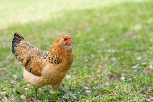 nomes para galinhas