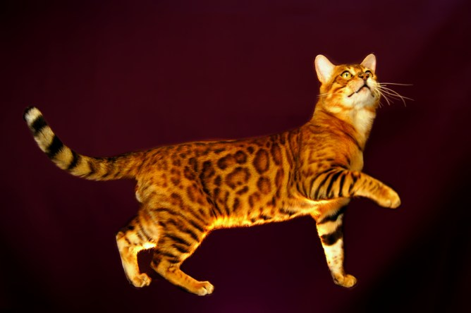 Gato Bengal brincando