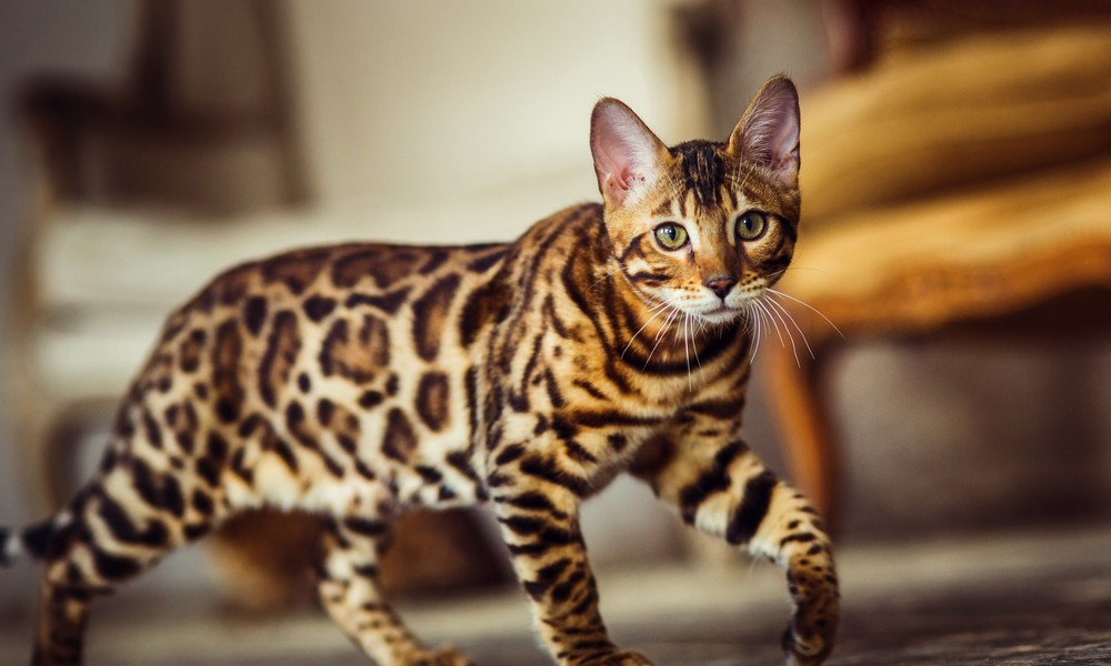 Gato Bengal andando