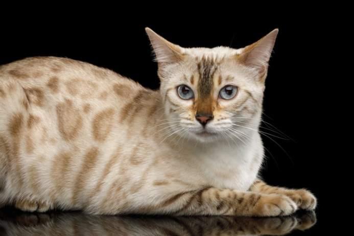 Gato Bengal creme
