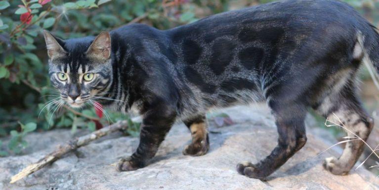 Gato Bengal preto