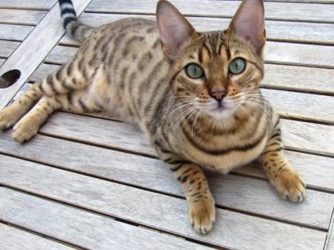 Gato Bengal deitado