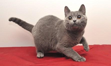 Gato Chartreux brincado