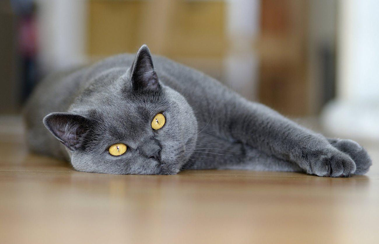 Gato Chartreux deitado