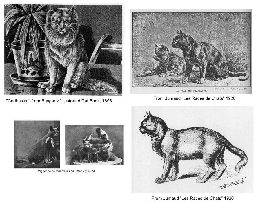 Gato Chartreux história