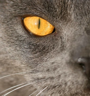 Gato Chartreux olho