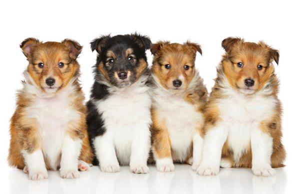 Cachorro pastor de Shetland