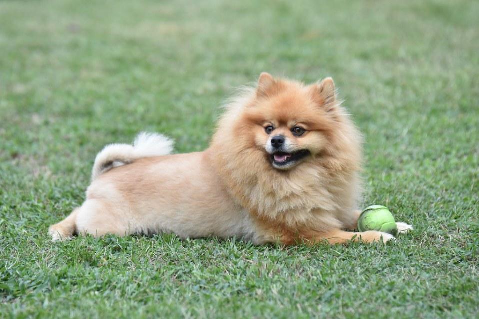 cachorro que se parece leao