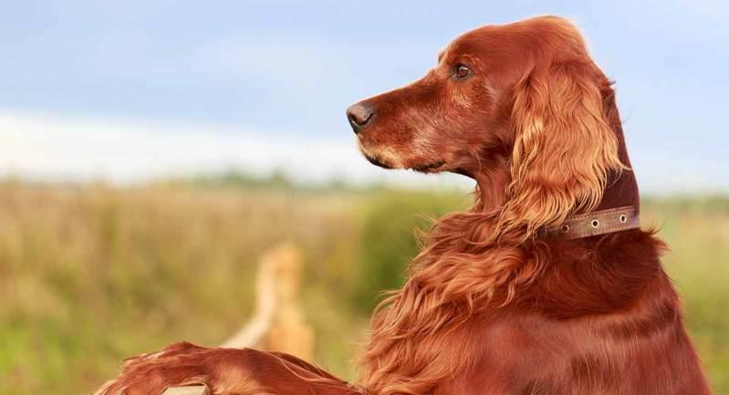setter irlandes cachorro lindo e peludo