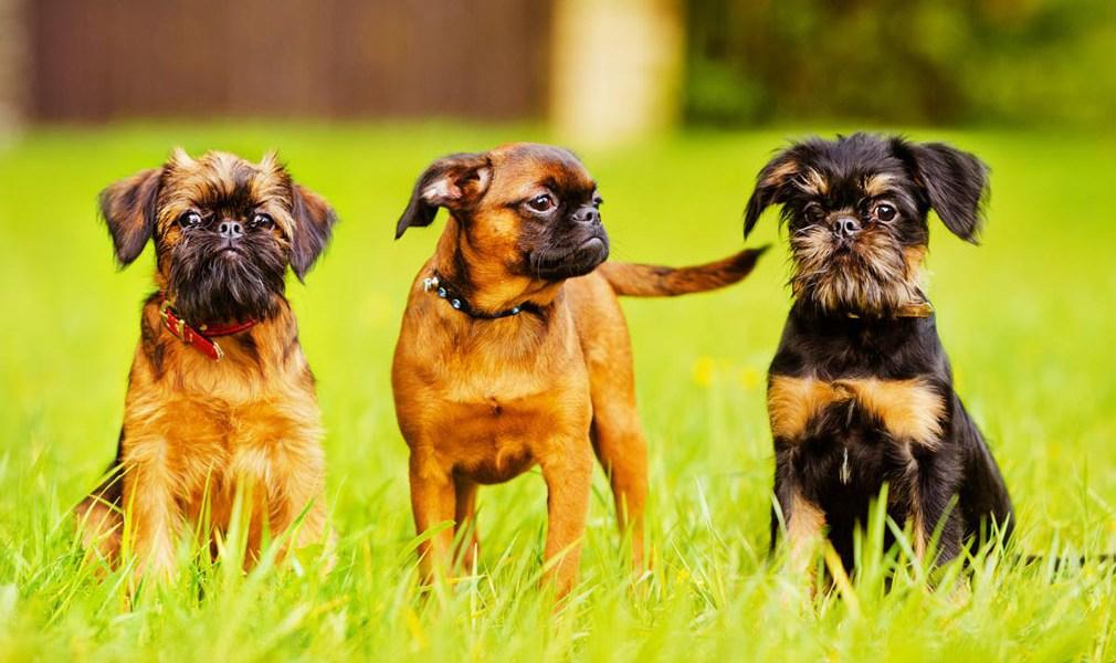 griffon de bruxellas cachorros
