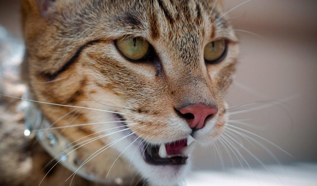 Gato Ashera close