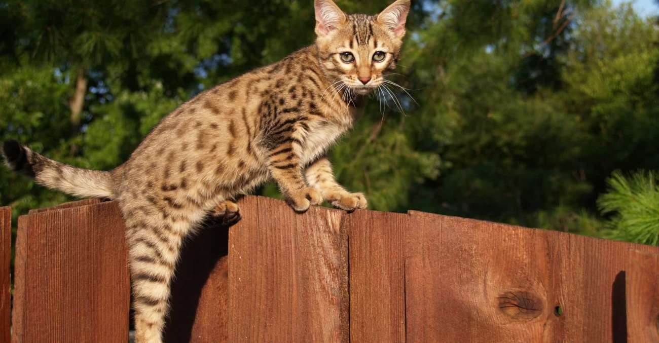Gato Ashera destaque