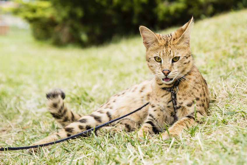 Gato Ashera natureza