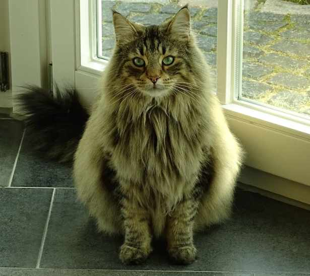 Gato Norueguês da Floresta sentado